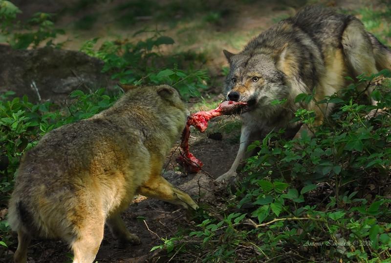 Carta dei diritti del lupo italian wild wolf for Ardeatina arredamenti di lupi gabriella