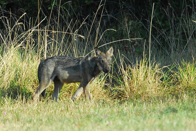 Abbattuto lupo nel canton vallese legambiente scrive al for Ardeatina arredamenti di lupi gabriella