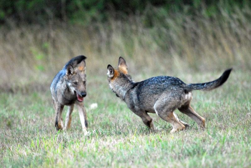 Alta murgia italian wild wolf for Ardeatina arredamenti di lupi gabriella