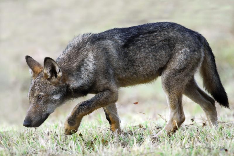 Il ritorno del lupo biodiversita da paura giorgio celli for Ardeatina arredamenti di lupi gabriella