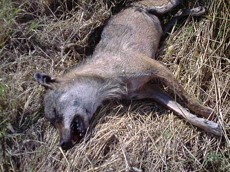 Santeramo ci sono i lupi giovane esemplare ucciso da for Ardeatina arredamenti di lupi gabriella