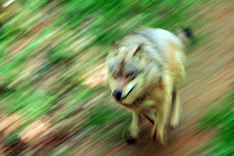 I perch della festa del lupo italian wild wolf for Ardeatina arredamenti di lupi gabriella
