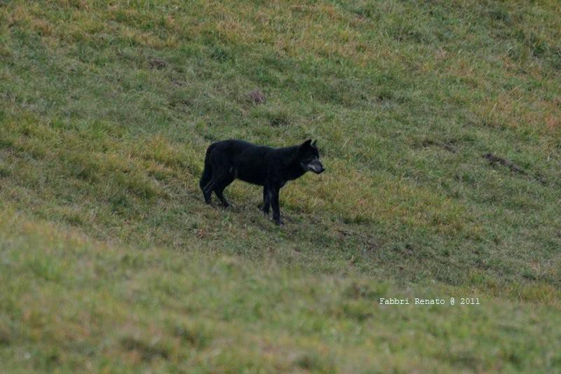 Neri come la notte italian wild wolf for Ardeatina arredamenti di lupi gabriella