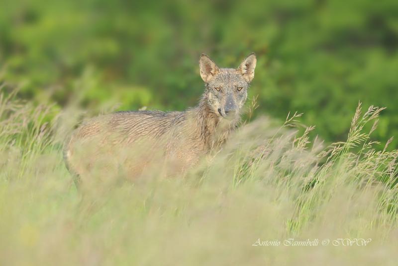 Il ruolo naturale del lupo – Casalecchio di Reno 9 novembre 2018