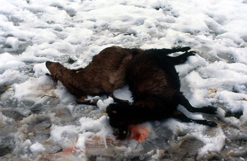 Danni da lupo, nuove regole da luglio 2013