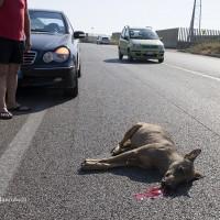 Mortalità del Canis lupus italicus in Italia