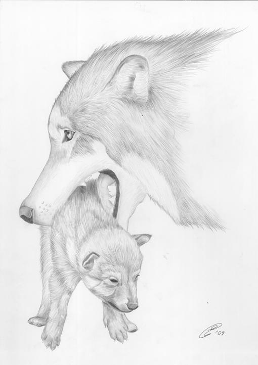 Resoconto festa del lupo 2010 italian wild wolf for Lupo disegno a matita
