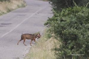 Canis lupus italilcus