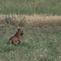 Incontro inaspettato con il lupo