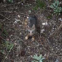 Incontro con i lupi italian wild wolf for Ardeatina arredamenti di lupi gabriella