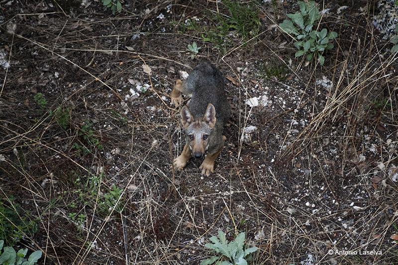 Incontro con i lupi