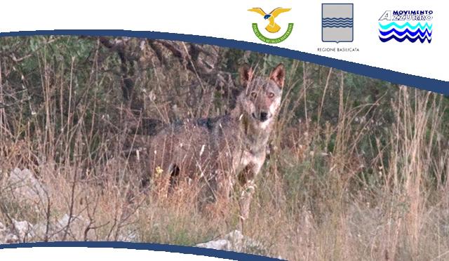 Svelato il mistero dei lupi che bevono