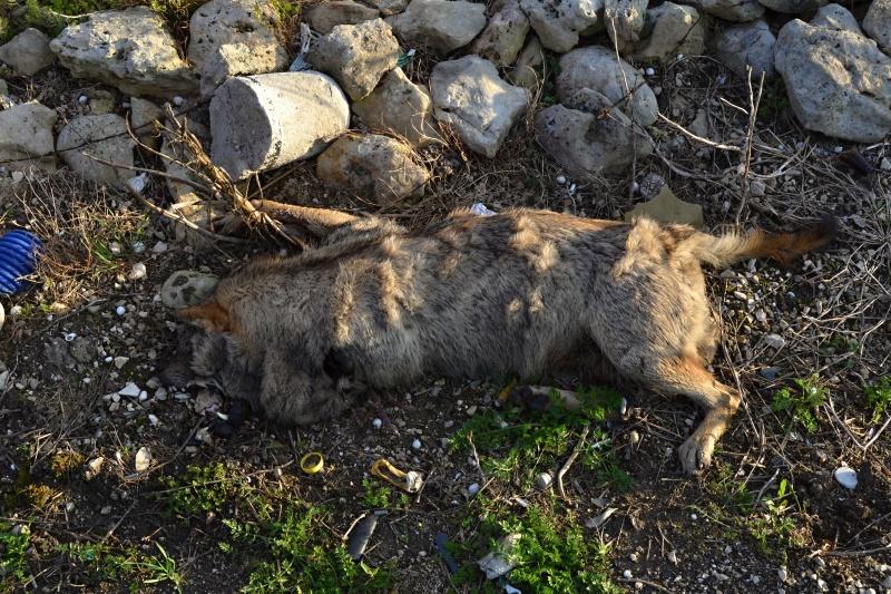 Un altro lupo investito nel tarantino