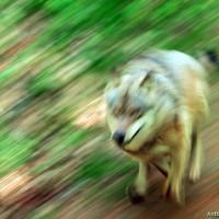 Una poesia per il lupo