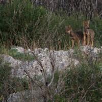 Al Pantano di Policoro (MT) per conoscere il lupo