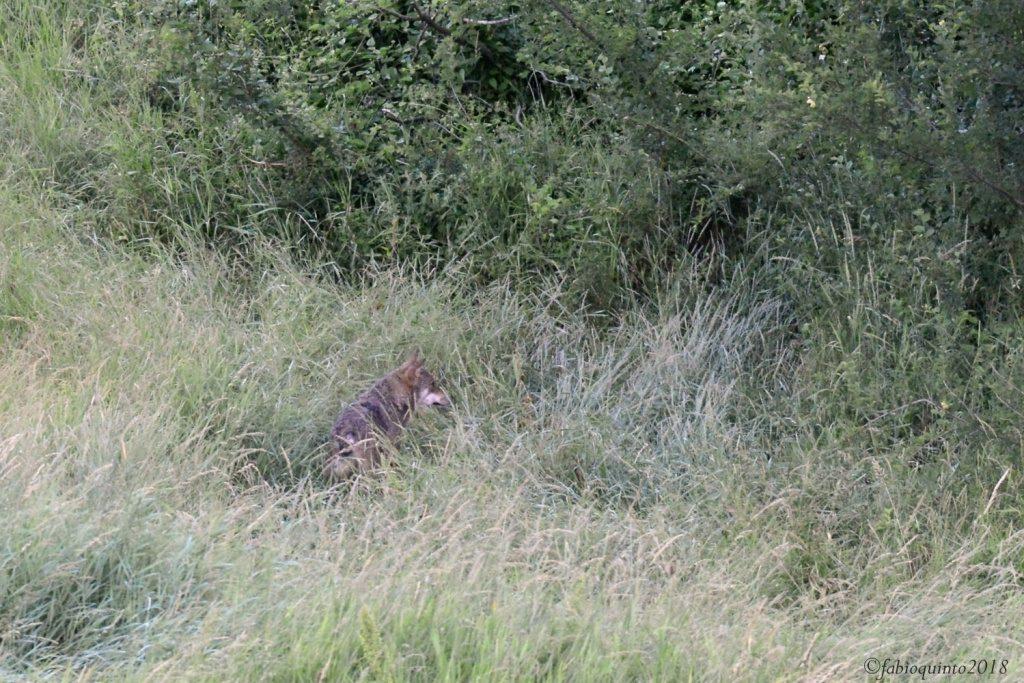 Il lupo di Zocca