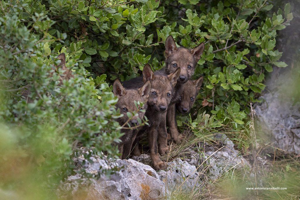 Nel mondo dei lupi – mostra fotografica 2018