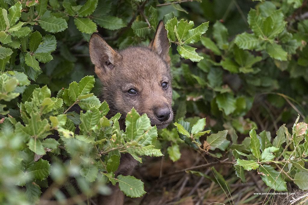 Un corso per conoscere il lupo