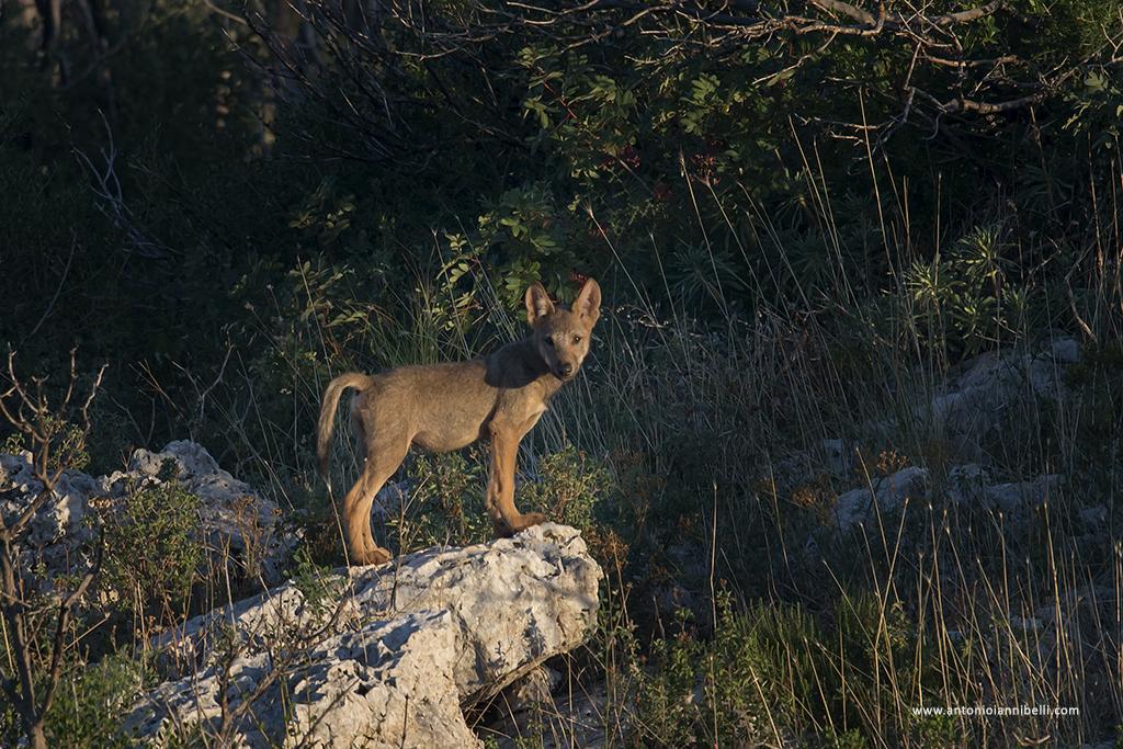 """""""BASILICATA WOLF TO WOLF"""" un campo per conoscere il lupo"""
