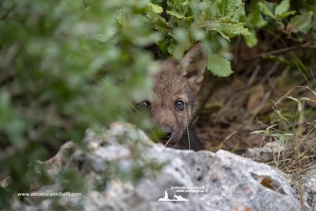 Nel Minnesota settentrionale i lupi nutrono i cuccioli con le bacche