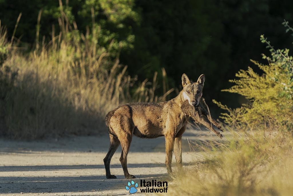 Il ritorno del lupo nel Bosco Pantano di Policoro