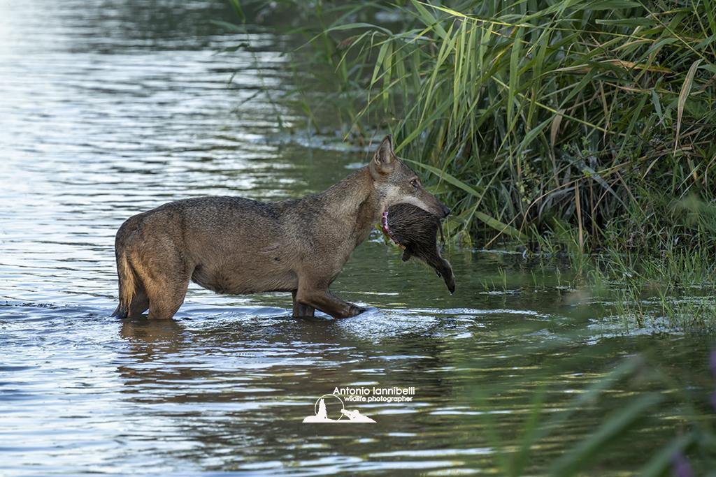 Cosa mangiano i lupi?