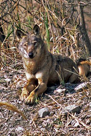 Canis lupus italicus, foto di Antonio Iannibelli